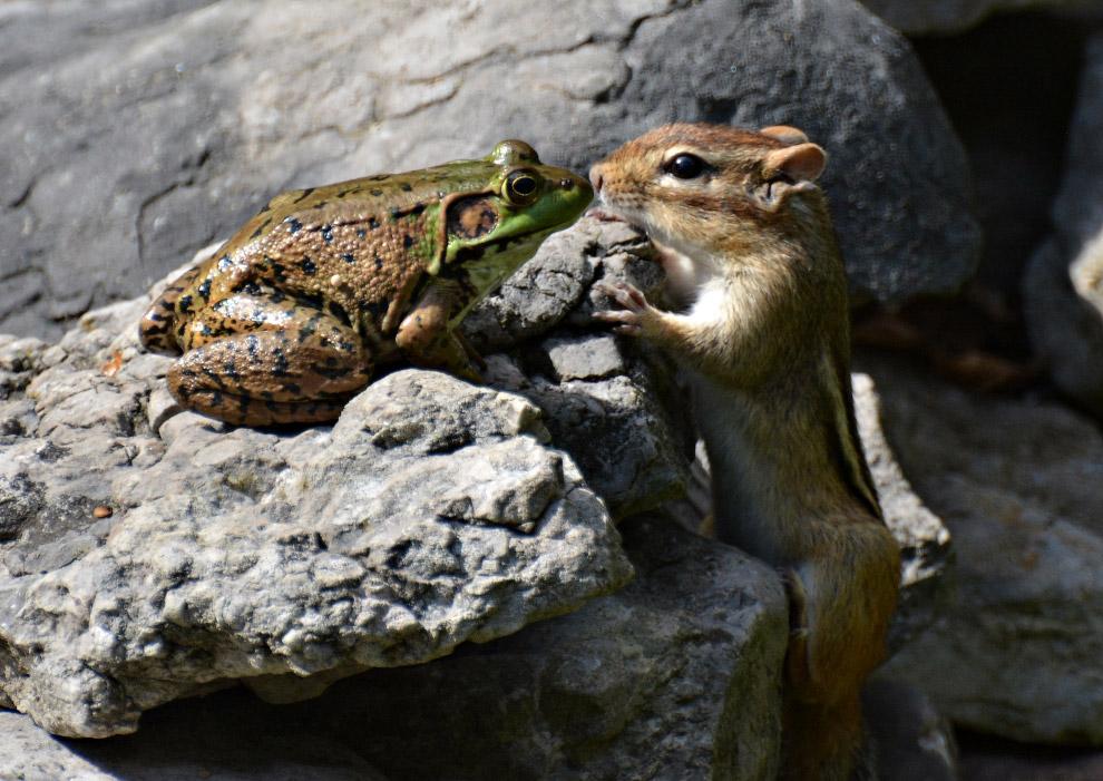 Лягушка и бурундук