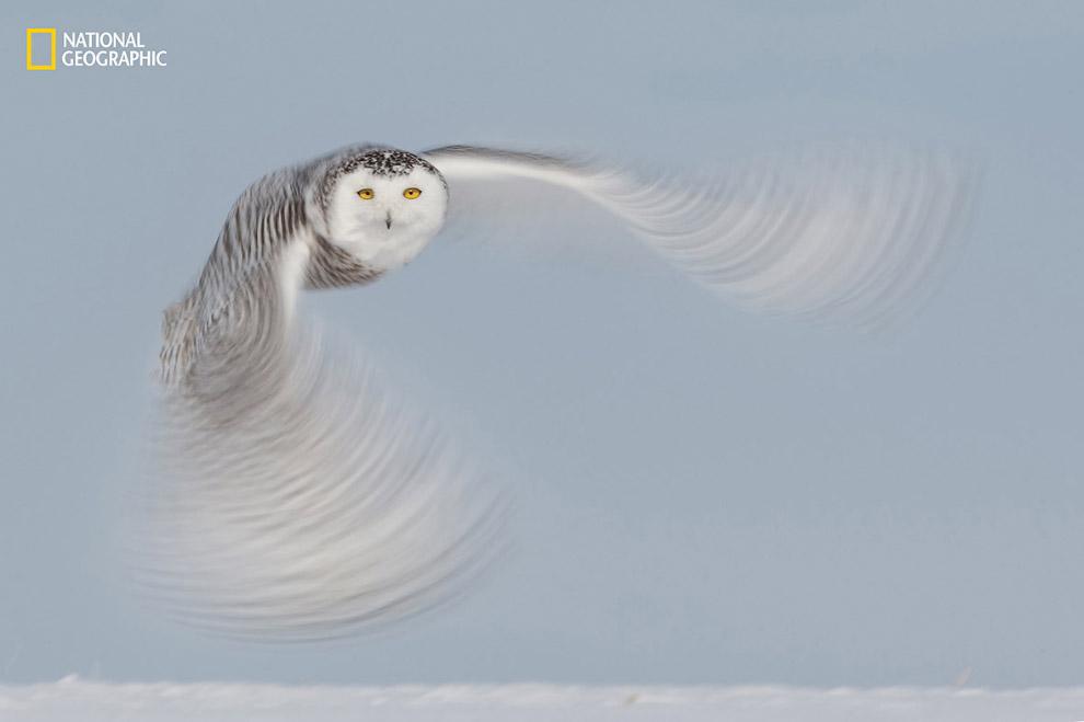 Дух тундры: полярная сова