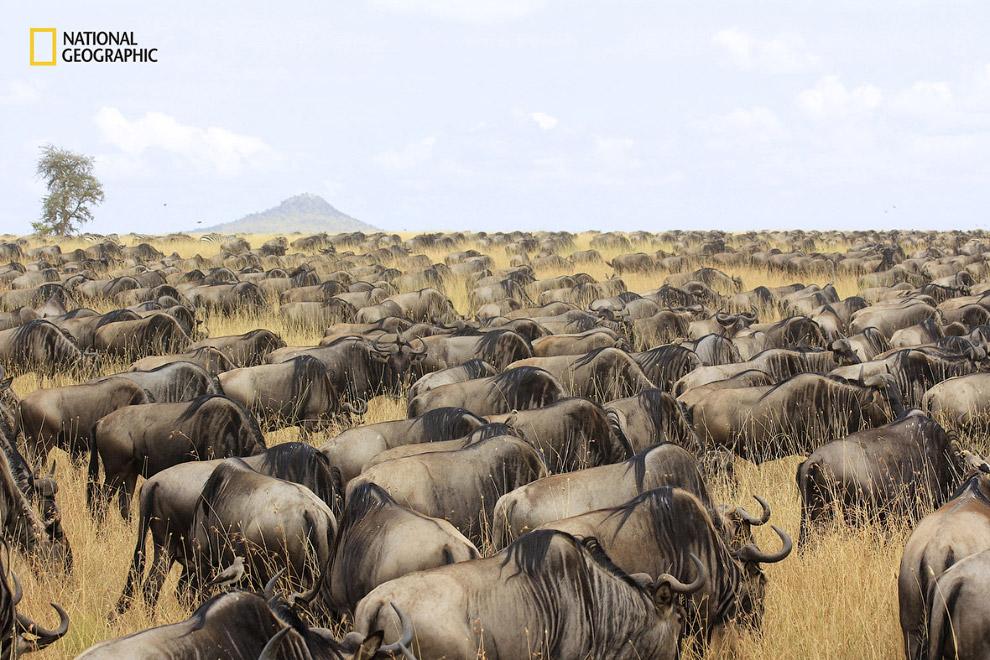 Антилопы гну во время миграции в Серенгети