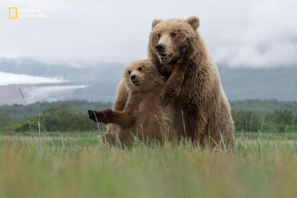 Бурые медведи на Аляске