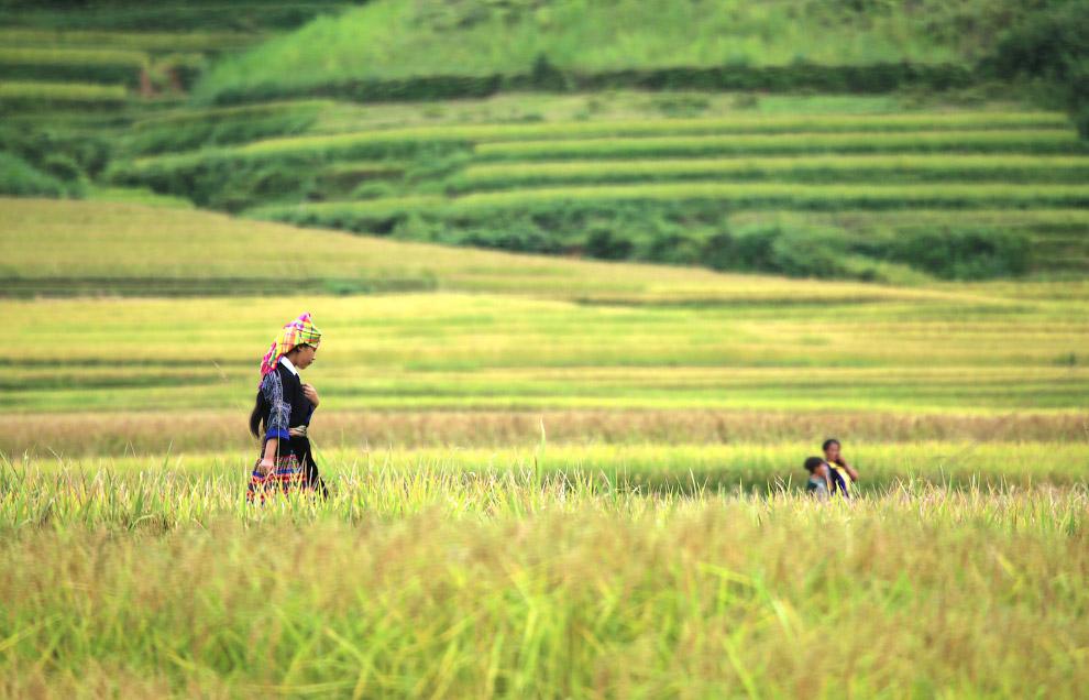 Рисовые поля в провинции Йенбай, Вьетнам