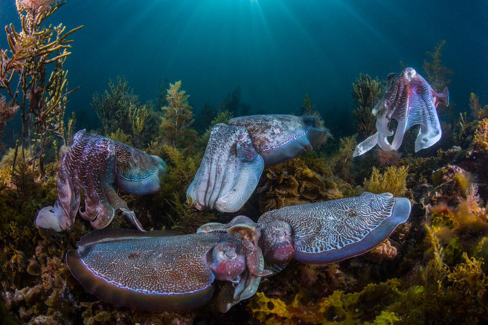 Тысячи гигантских каракатиц собираются каждую зиму в водах Южной Австралии
