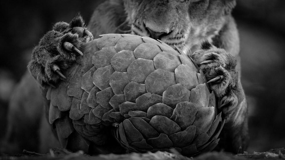 Лев и ящур