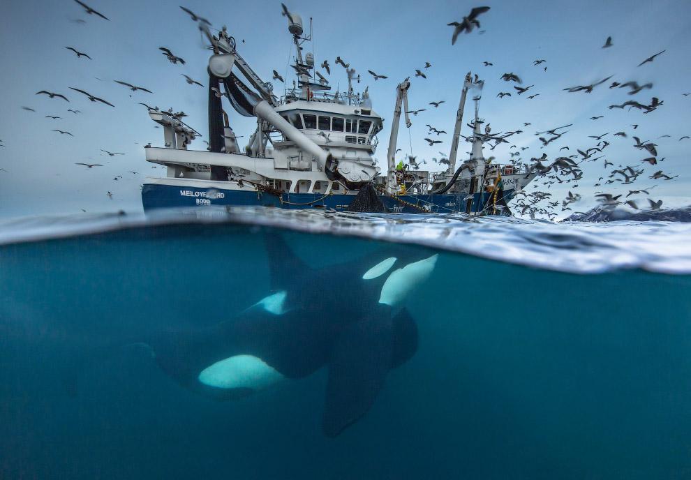 Рыбацкая лодка в Норвегии и огромная косатка