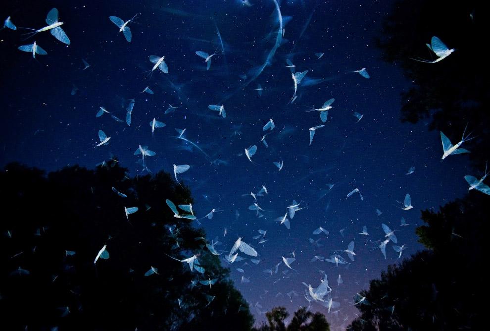 Каждый год в конце июля и начале августа, в течение нескольких дней огромное количество насекомых появляются из притоке Дуная в Венгрии