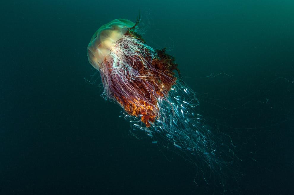 Медуза львиная грива