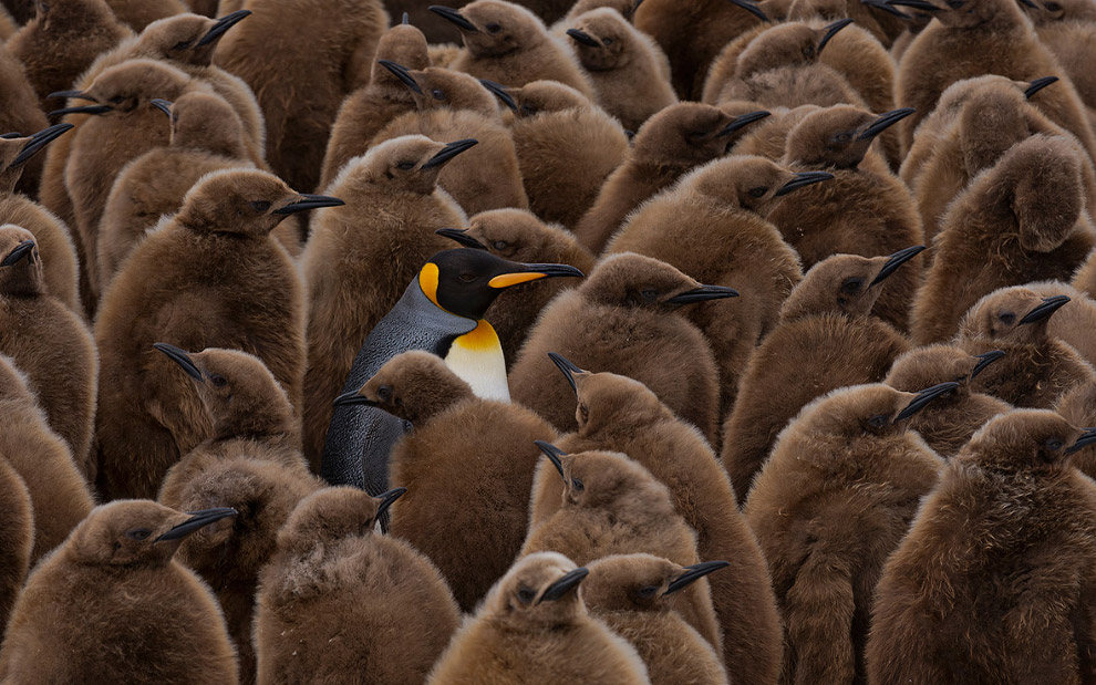 На страже птенцов пингвинов