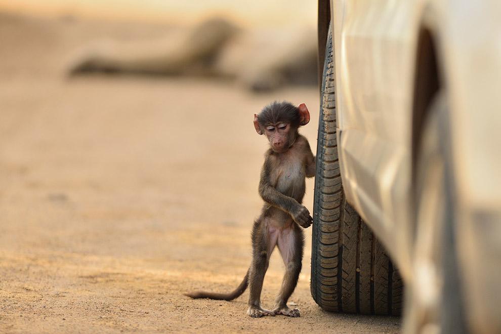 Маленький бабуин