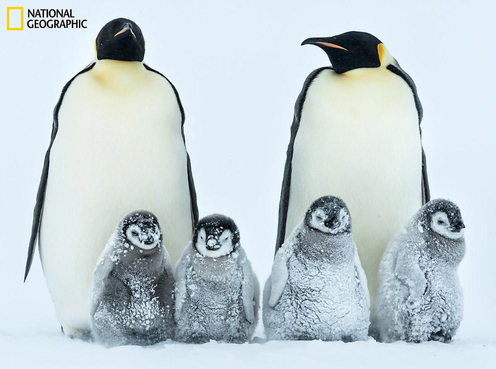 Семьи императорских пингвинов.