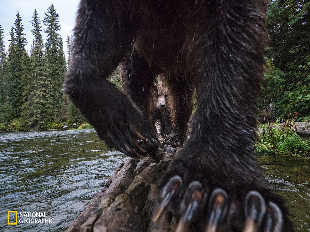 Походка медведя гризли