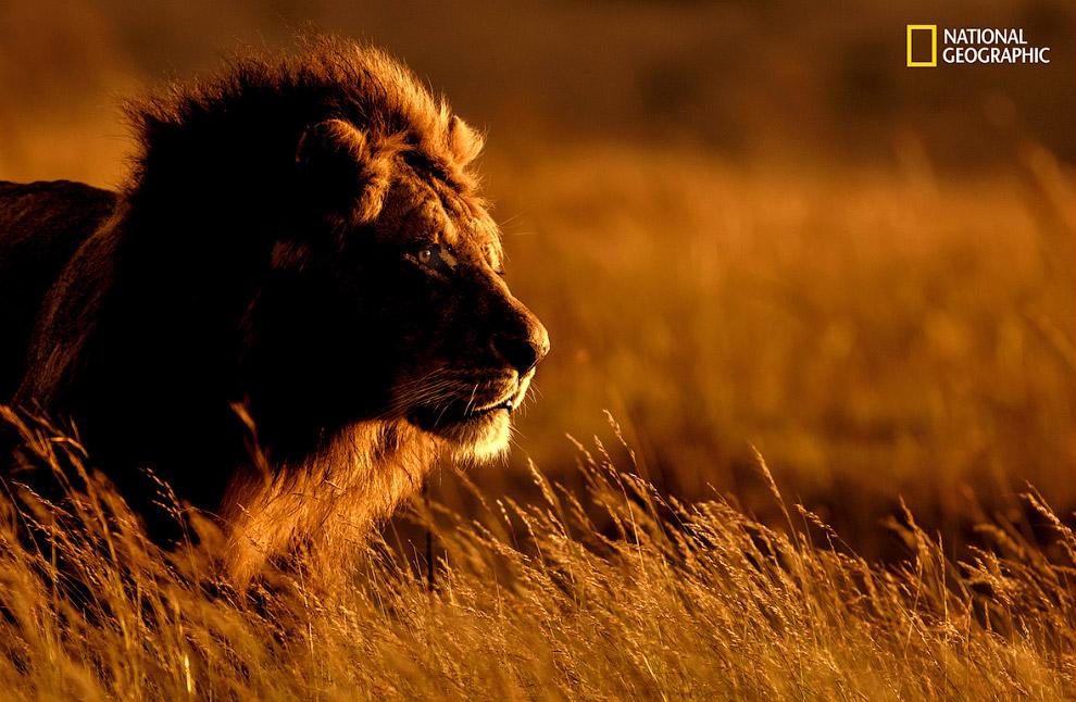 Лев на рассвете