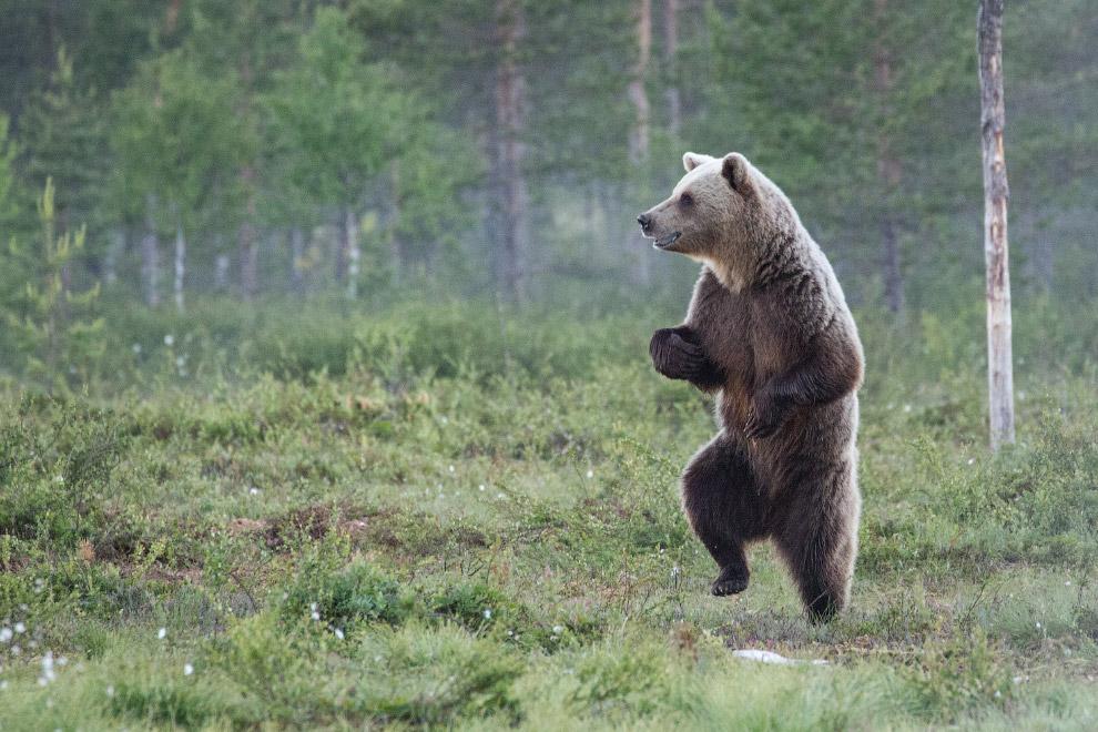 Танцующий медведь