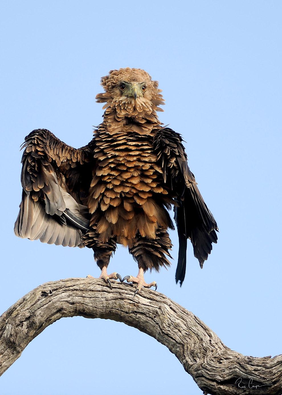 орёл-скоморох