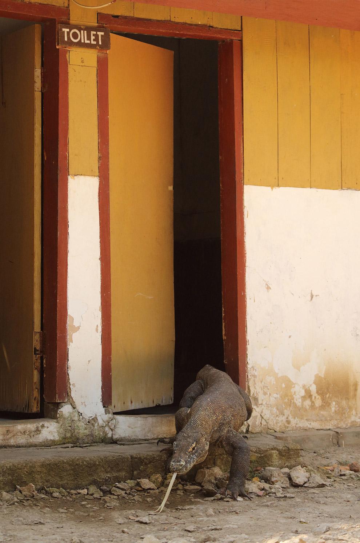 Комодский варан выходит из туалета