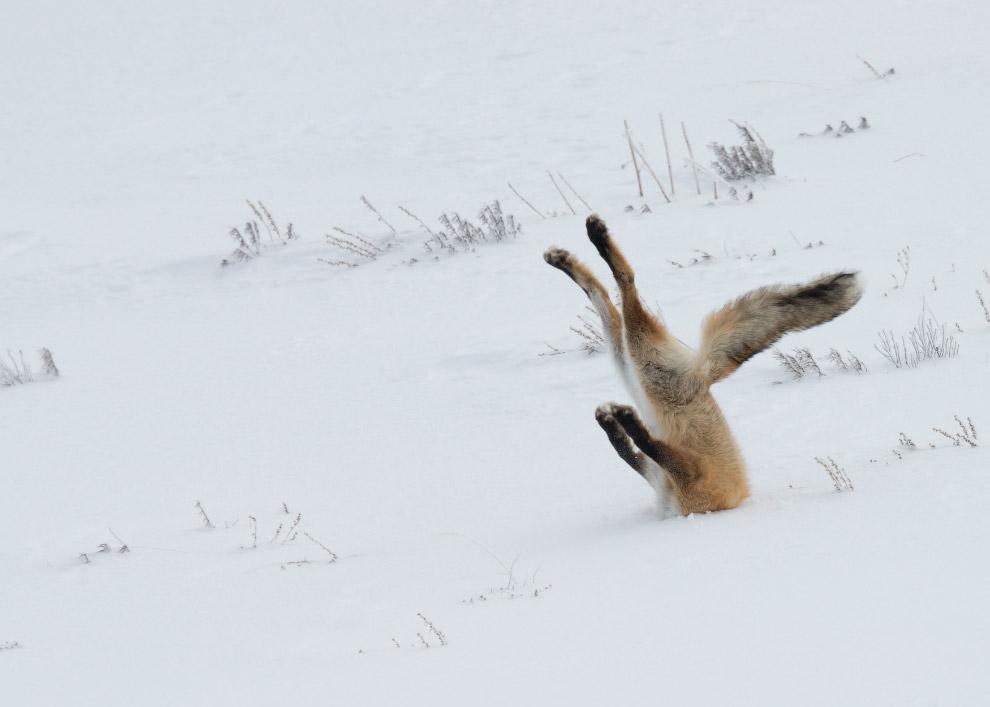 Лиса охотится в Йеллоустонском национальном парке