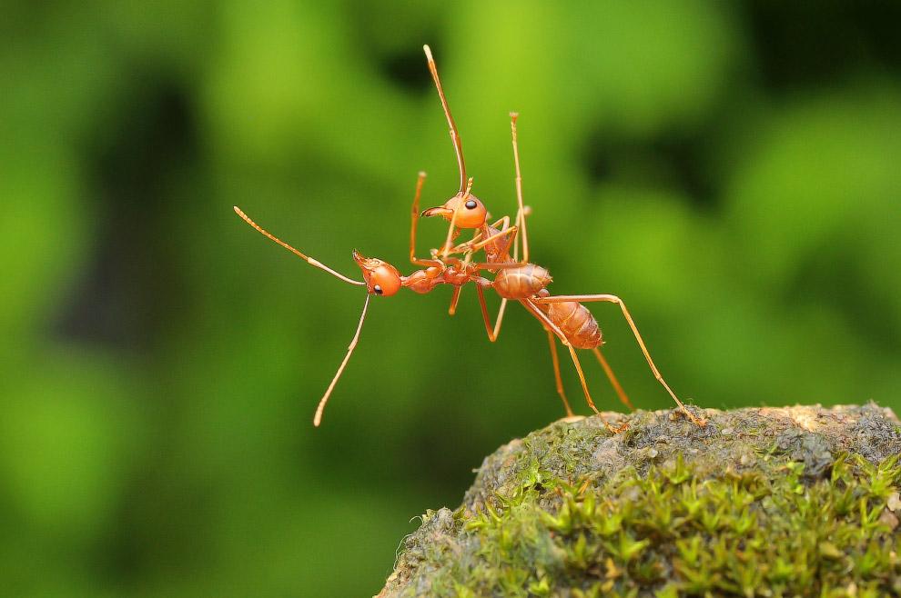 Бальные танцы муравьев