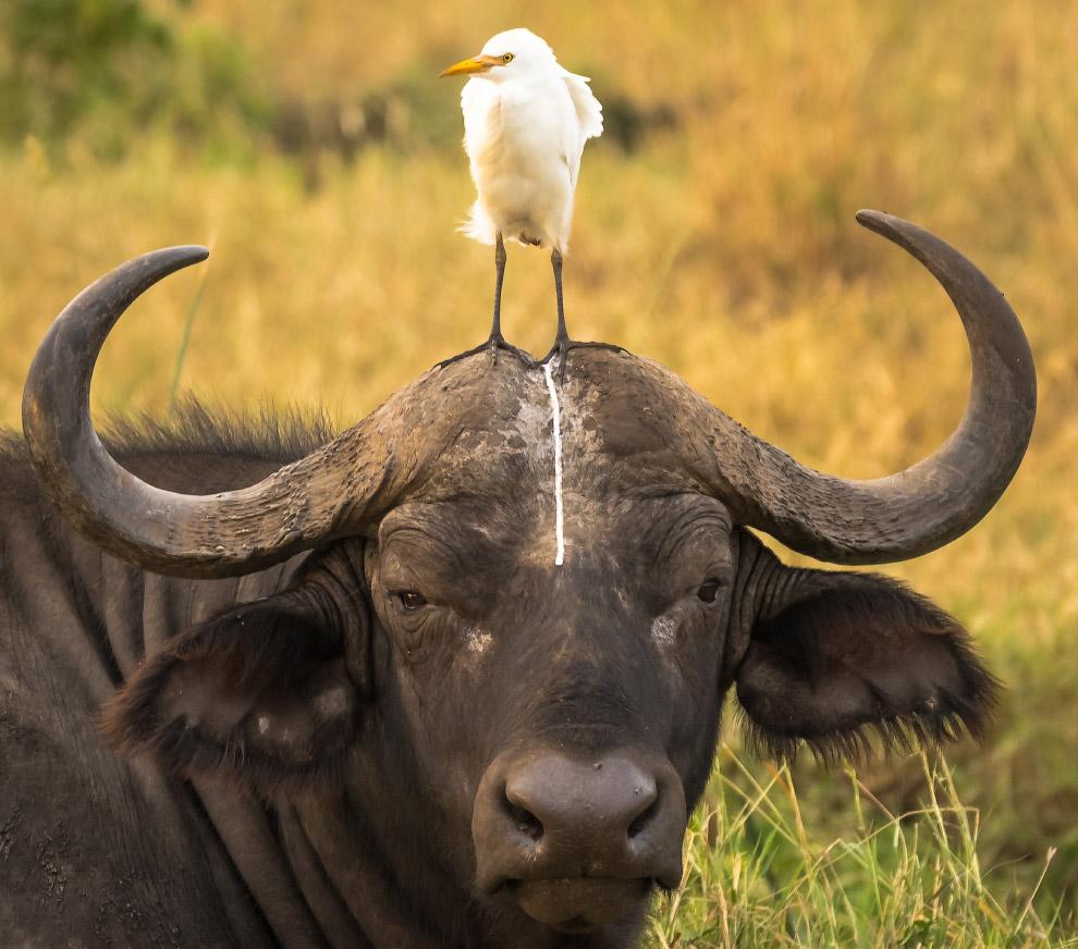 Несчастный буйвол в Национальном парке Кении