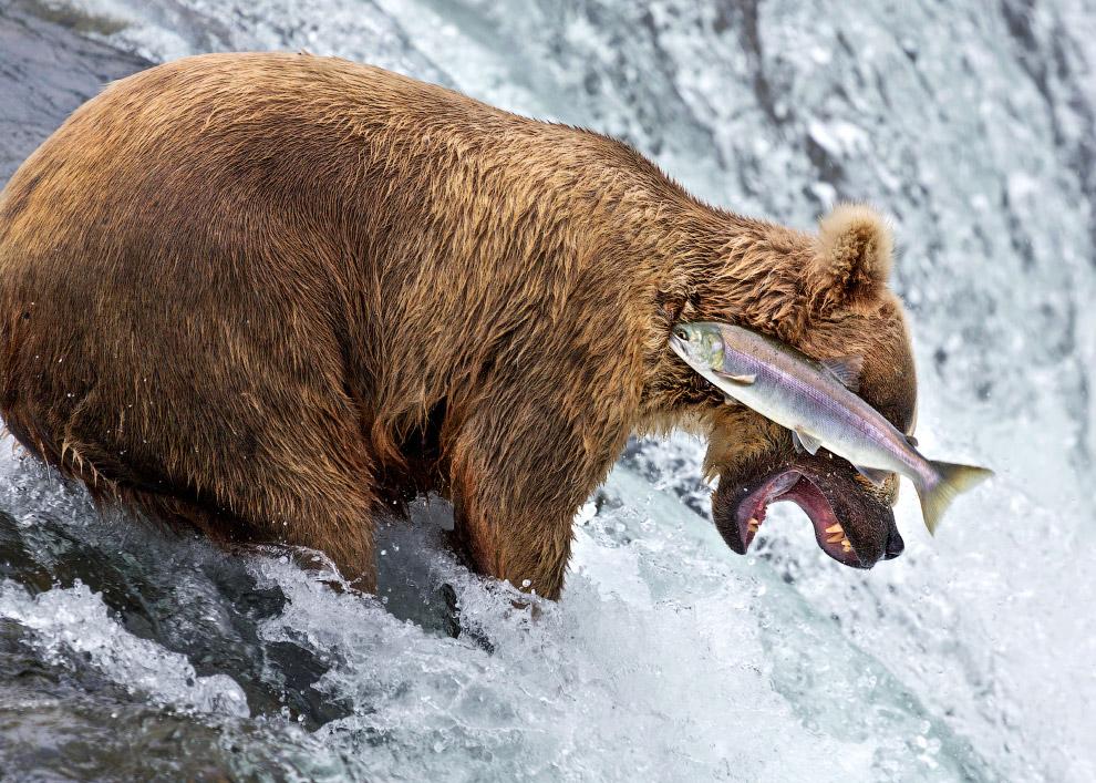 Медведь ловит рыбу на Аляске
