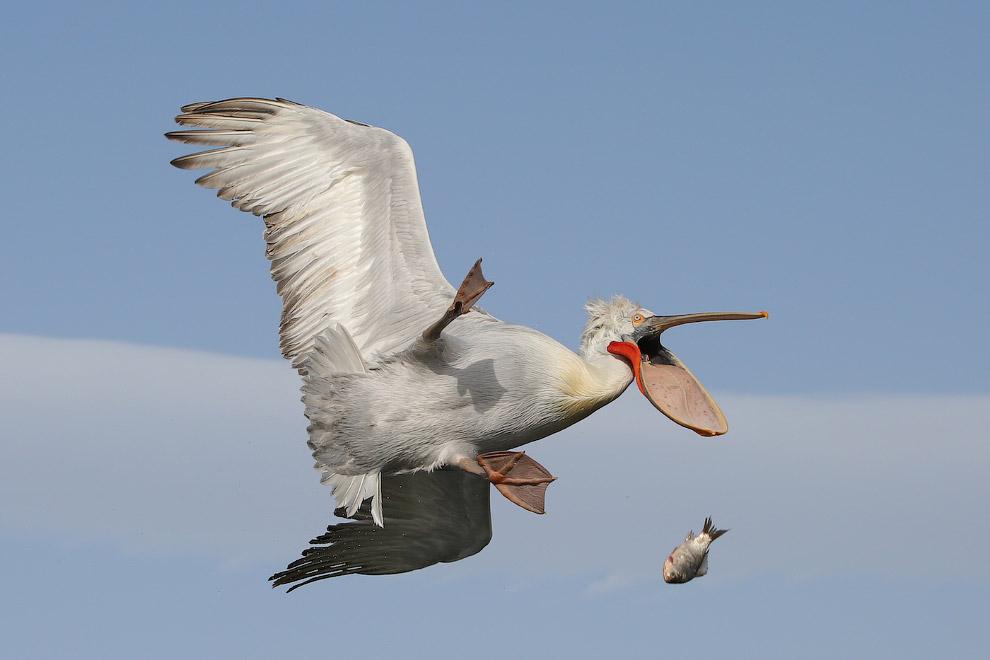 Пеликан потерял пойманную рыбу