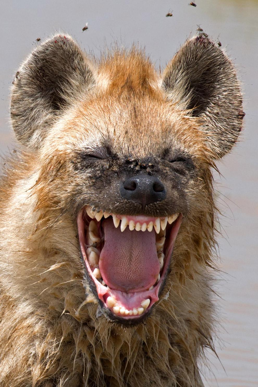 Смешливая гиена