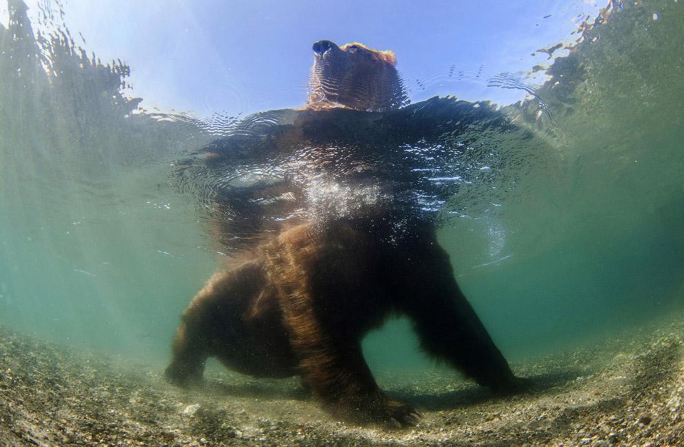 Медведь в реке ловит лосося, Камчатка