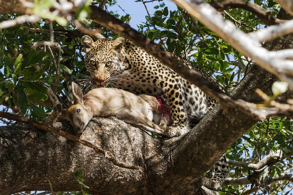 Леопард и его добыча в Национальном парке Крюгера.