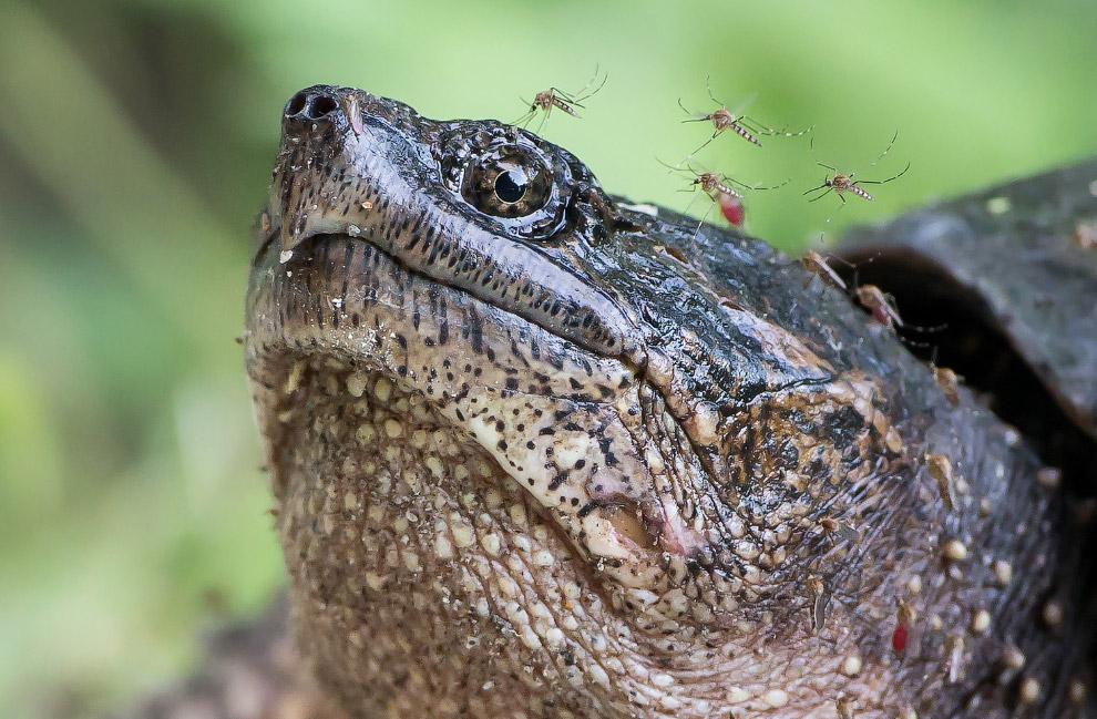 Комары достают черепаху