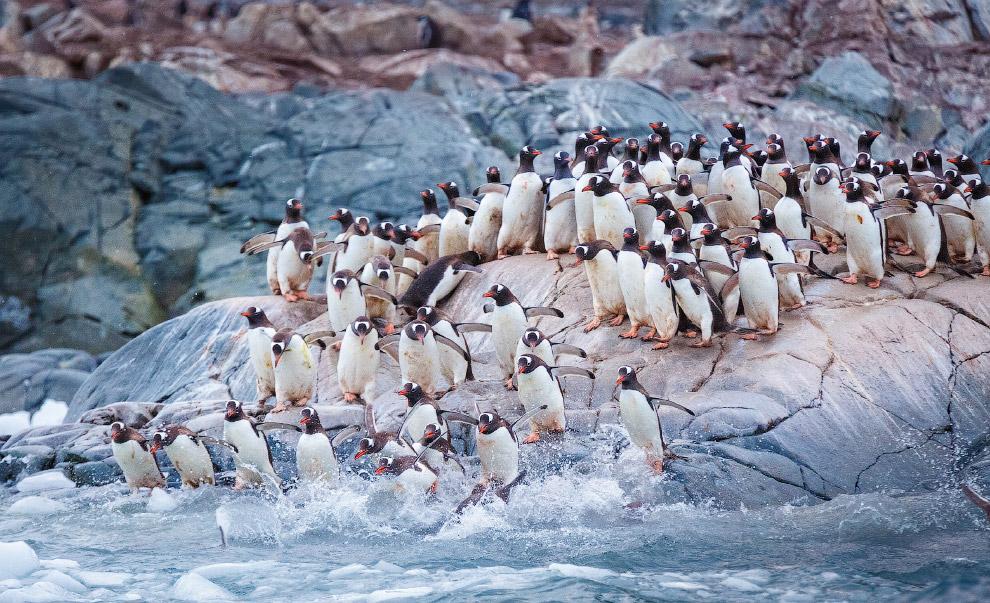 Колония папуанских пингвинов