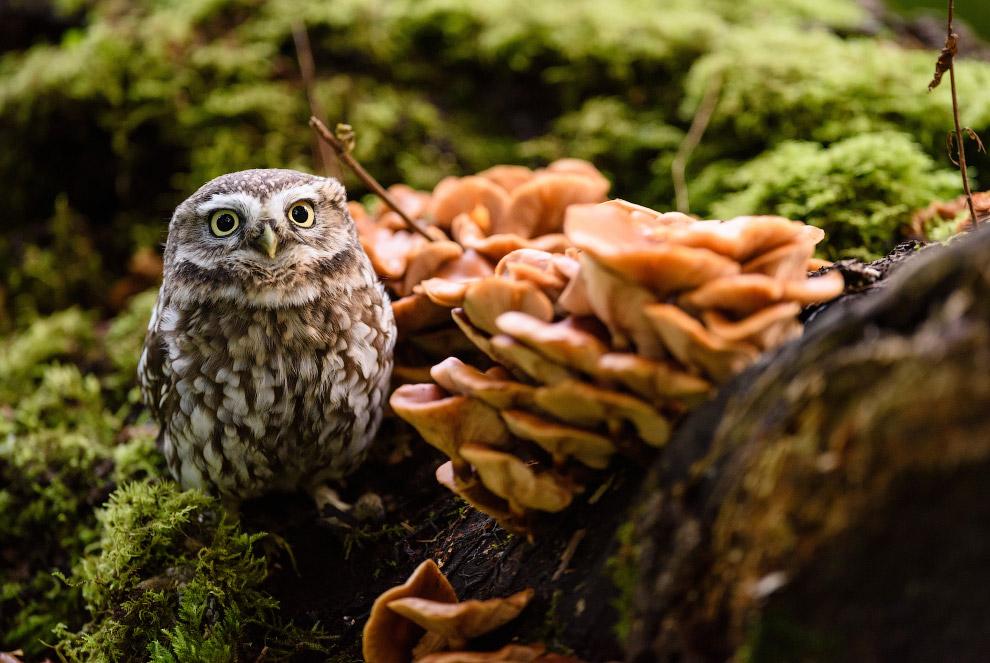 Домовой сыч среди грибов в лесу в Йоркшире, Великобритания
