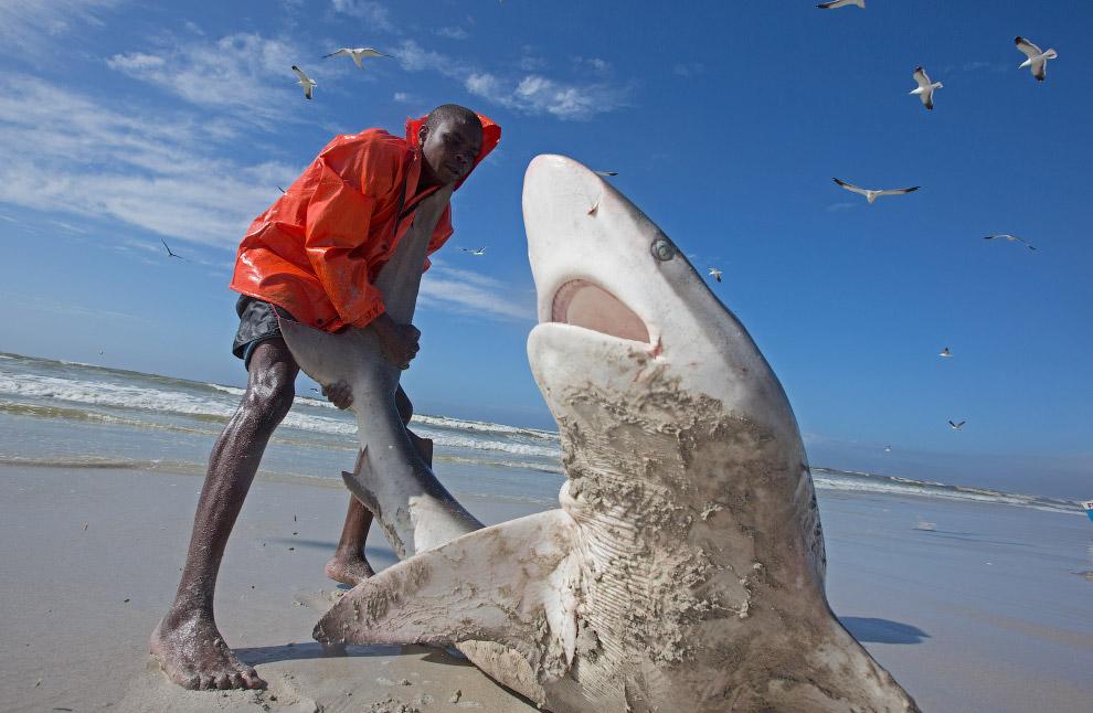 короткохвостая серая акула