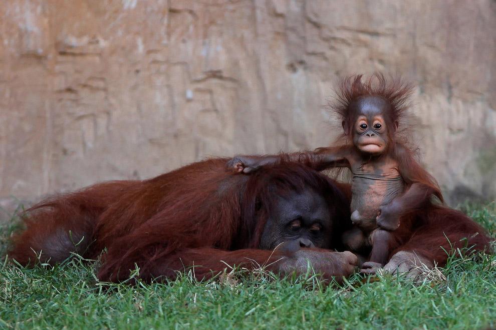 Калимантанские орангутаны