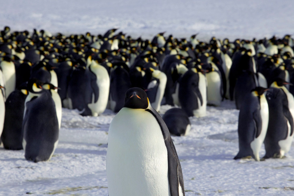Пингвин Адели