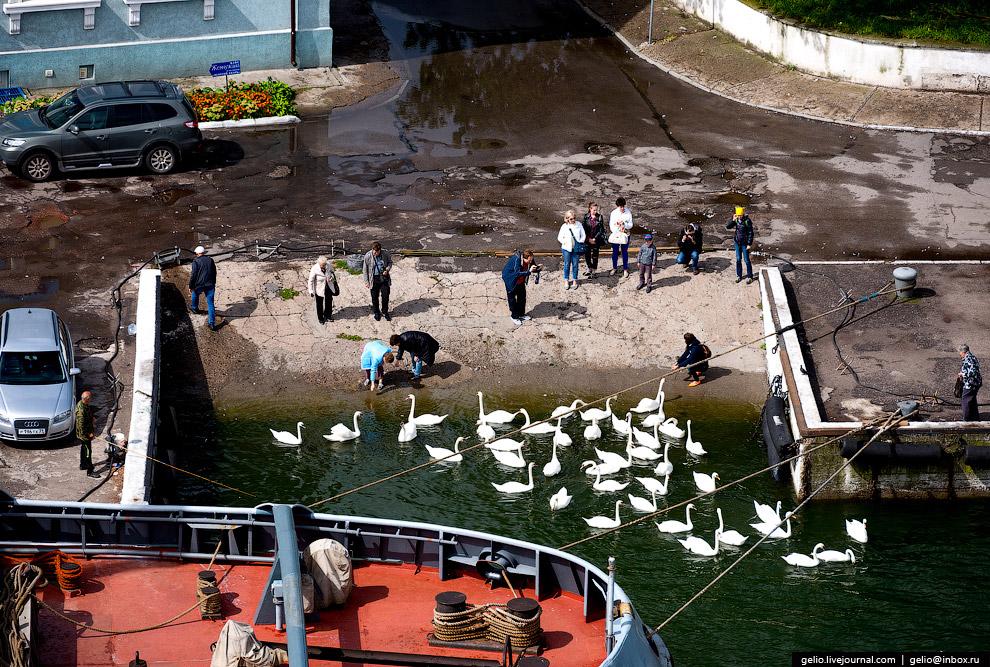 Балтийские лебеди.