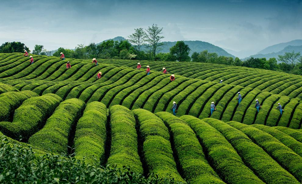 Чайная плантация в Китае