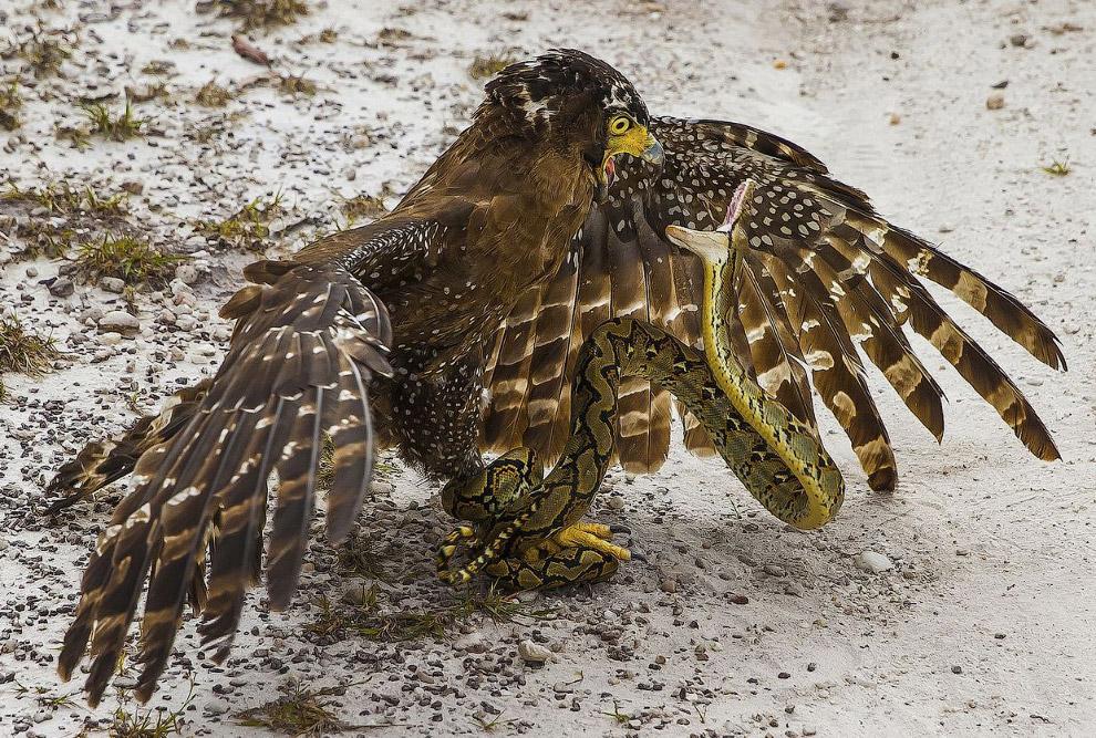 Схватка птицы и змеи