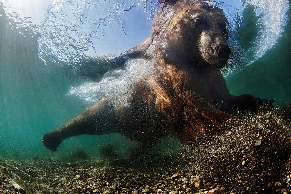 Медведь ловит рыбу в Курильском озере в России
