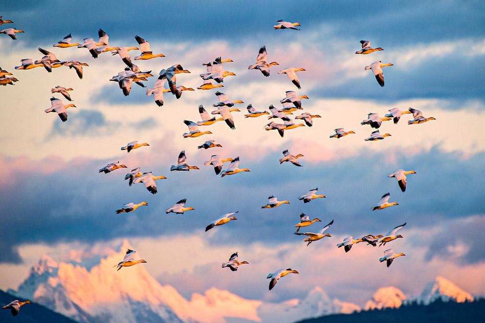 Стая гусей на острове Фер
