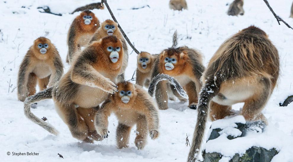Золотистые курносые обезьяны в горах Циньлин, Китай