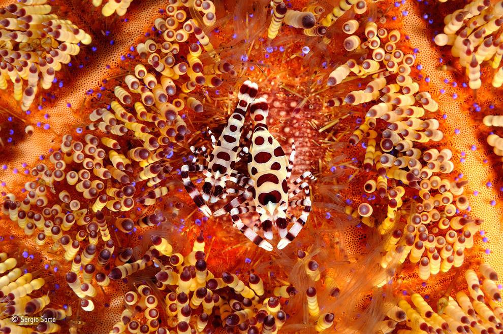 Креветки. Они живут в симбиозе с крупными животными, чаще всего морскими анемонам