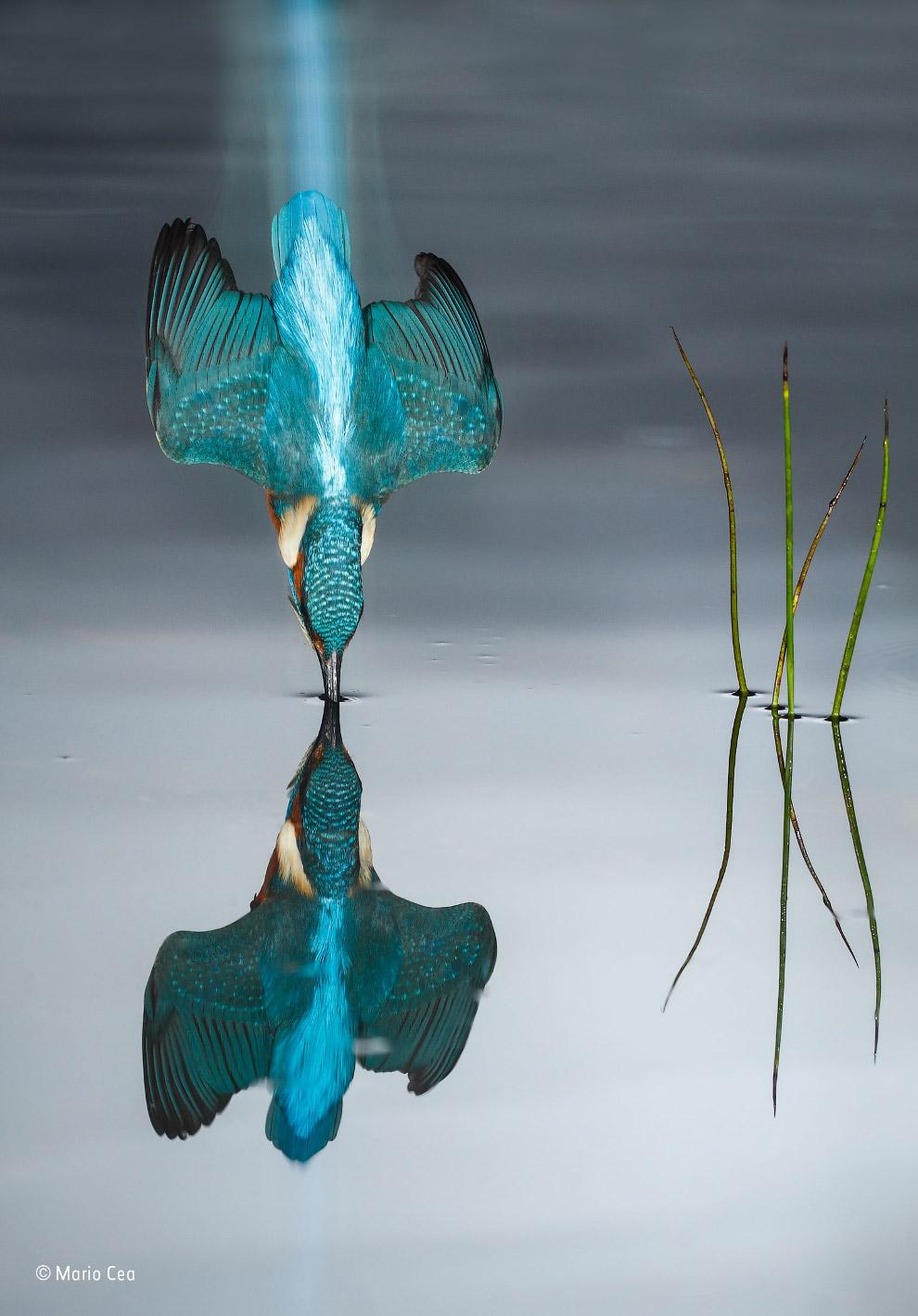 Зимородок входит в воду