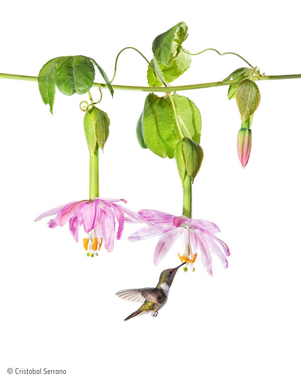 Колибри пьет нектар
