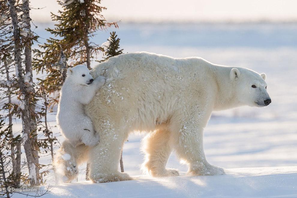 Медведица и медвежонок, Манитоба, Канада