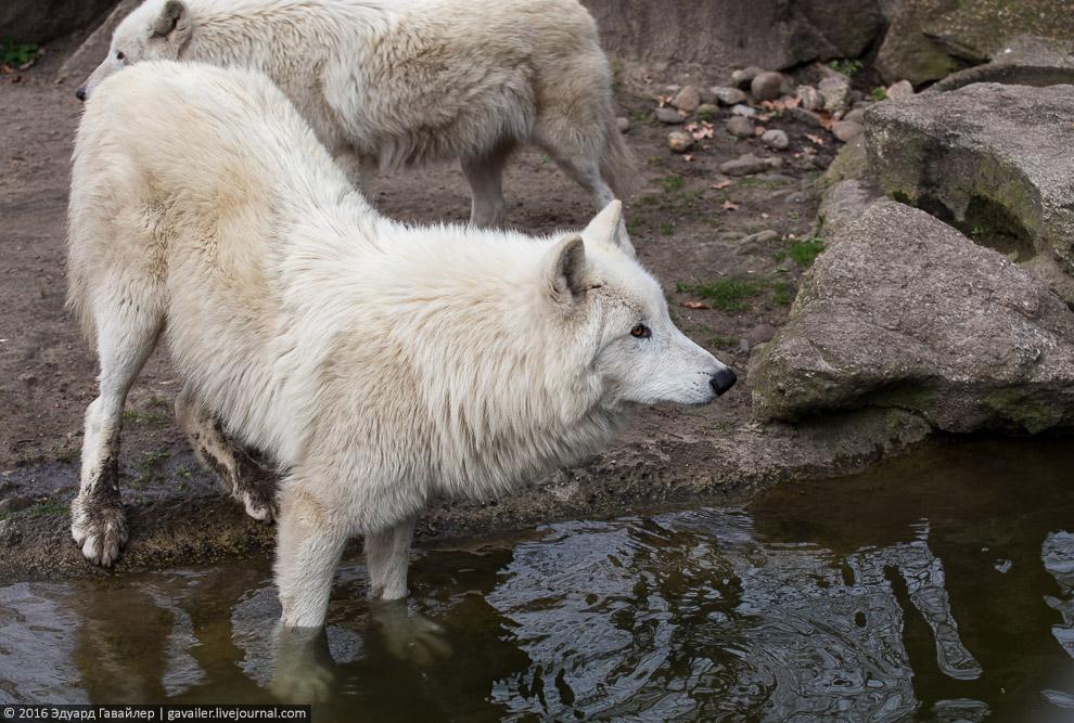 Полярный волк.