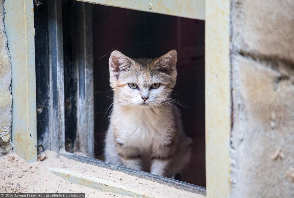 Барханный кот, также называемый песочным.