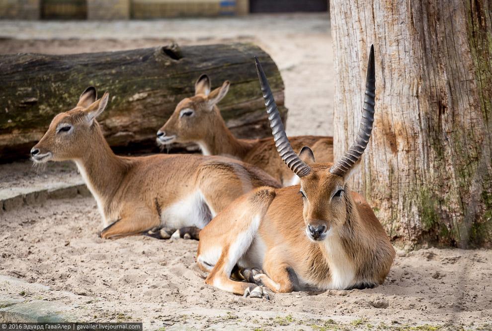 Личи — африканская антилопа рода водяных козлов.