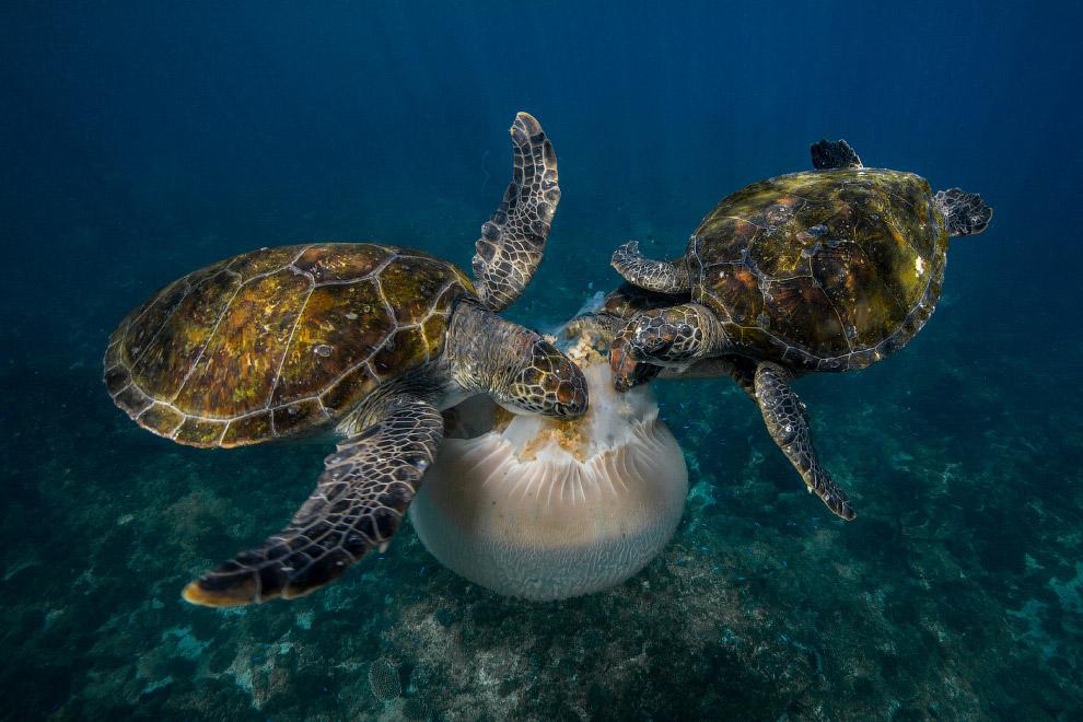 Зеленые черепахи и медуза