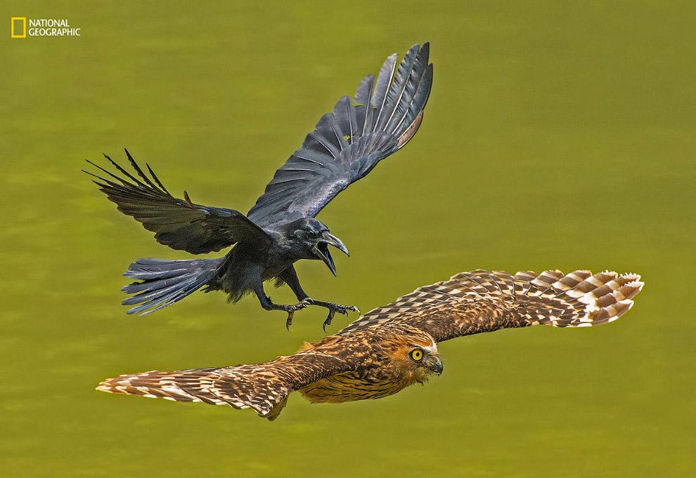 Ворон преследует малайского рыбного филина