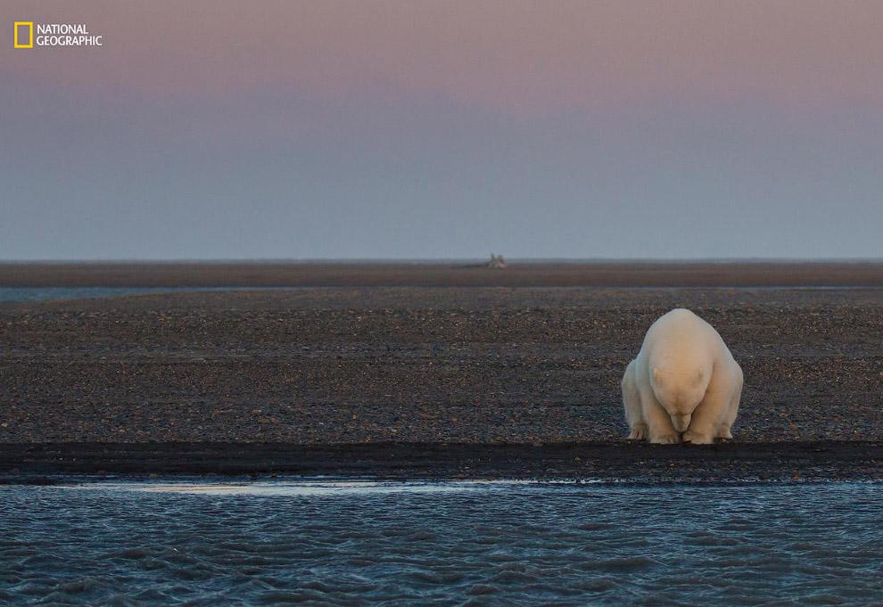 Одинокий медведь сидит на берегу Бартер-Айленда, штат Аляска