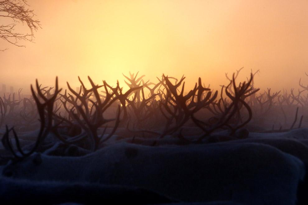 Стадо оленей в загоне в поселке Красное Ненецкого автономного округа