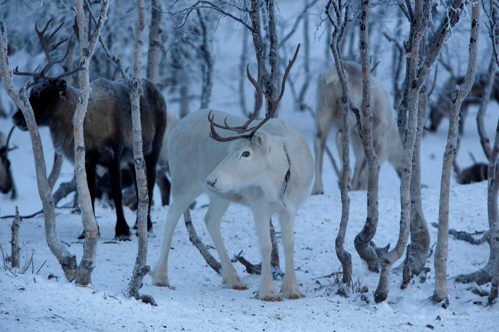 Сеерные олени